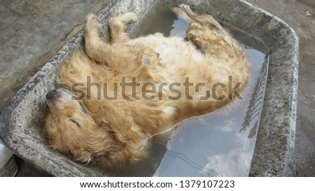 Golden dog sleeping, bathing in the tub, wetting, relaxing, playing in the water, happy