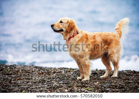 Golden dog sprinkle with drops of seawater on the beach #570582010