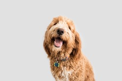 Golden doodle Dog on Isolated Background