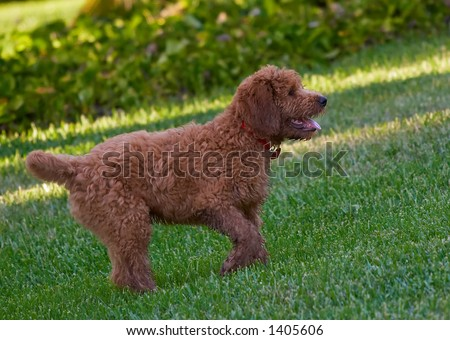black goldendoodle dogs. stock photo : golden doodle,