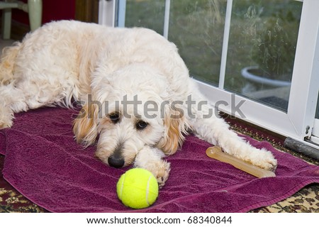black goldendoodle pictures. stock photo : Golden Doodle
