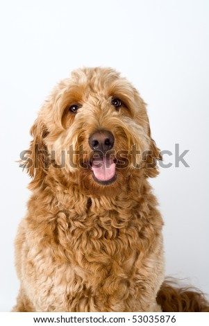 goldendoodle puppies for sale in michigan. house Goldendoodle puppies for