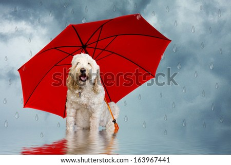 Golden Doodle dog sitting with red umbrella with faux raindrops falling around her (humor)