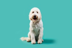 Golden Doodle on Isolated Colored Background