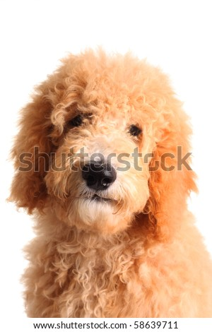 goldendoodle puppies michigan. hair Goldendoodle puppies sale
