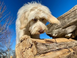 Golden doodle puppy climbing on logs playing scent work game searching for food at canine enrichment center