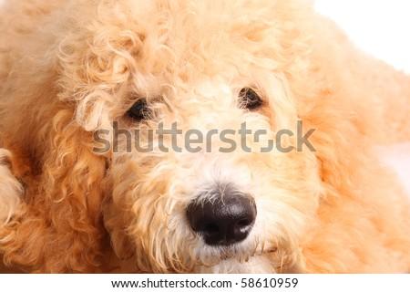 Golden doodle puppy, close up.