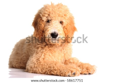 Golden doodle puppy isolated on white.