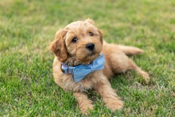 Golden Doodle Puppy Playing in Yard