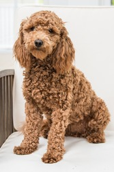 Golden Doodle Sitting for her Portrait