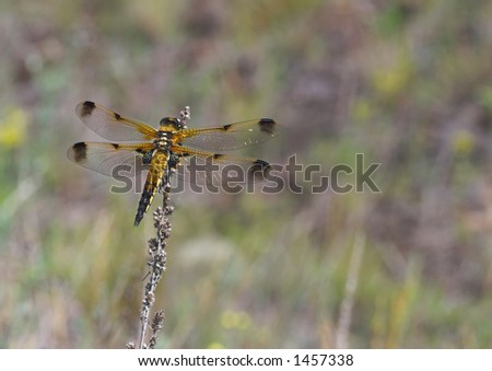 Golden dragonfly is resting on the dry blade in the midday heat