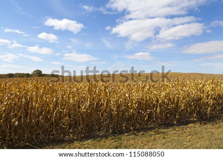 Golden Dry Corn On American Countryside
