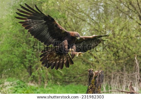 Golden eagle about to land. A magnificent golden eagle is seen as it prepares to land on a tree stump Stock photo ©