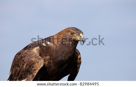 Golden Eagle against blue, summer sky.  Copy space available
