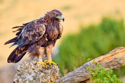Golden Eagle  Aquila chrysaetos at Mediterranean Forest  Castile and Leon  Spain  Europe