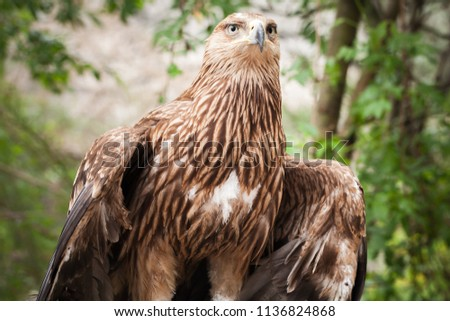 Golden eagle Aquila Chrysaetos, close-up. It is one of the best-known birds of prey