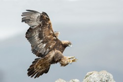Golden eagle (Aquila chrysaetos) during the landing. Wildlife scene from Bulgaria