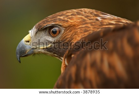 golden eagle wallpaper. wallpaper Bird Golden Eagle