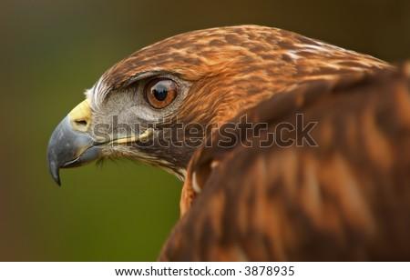 golden eagle wallpaper. wallpaper Bird Golden Eagle