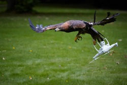 Golden eagle, Aquila chrysaetos, flying with white quad copter. Drone hunter, bird of prey with quad copter in claws.Copter catched by eagle. Falconry training against drones. Airfield protection.
