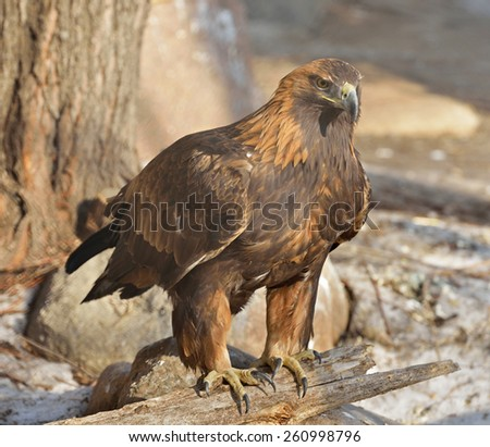 Golden eagle (Aquila chrysaetos) is one of best-known birds of prey in Northern Hemisphere
