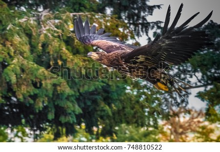 Golden eagle (Aquila chrysaetos) is one of the best-known birds of prey in the Northern Hemisphere.