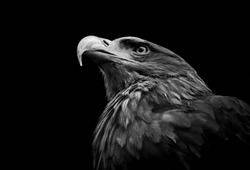 Golden eagle (Aquila chrysaetos) isolated on black background. Close-up head of powerful bird of prey in black and white.