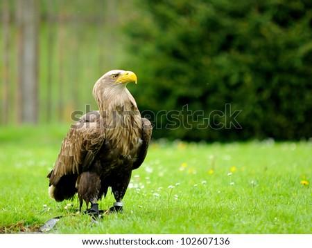 stock-photo-golden-eagle-aquila-chrysaetos-jailed-in-zoo-102607136.jpg