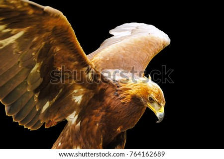 Golden eagle (Aquila chrysaetos) on a black background.\nThe golden eagle is one of the best-known birds of prey in the Northern Hemisphere. It is the most widely distributed species of eagle.\n