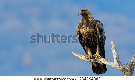 Golden Eagle (Aquila chrysaetos) on a Branch in winter #1234864885