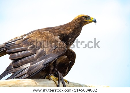 Golden eagle, Aquila chrysaetos, one of the best-known large birds of prey in the Northern Hemisphere