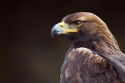 golden eagle (Aquila chrysaetos) orel skalni