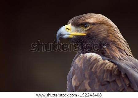 golden eagle (Aquila chrysaetos) orel skalni  Stock photo ©