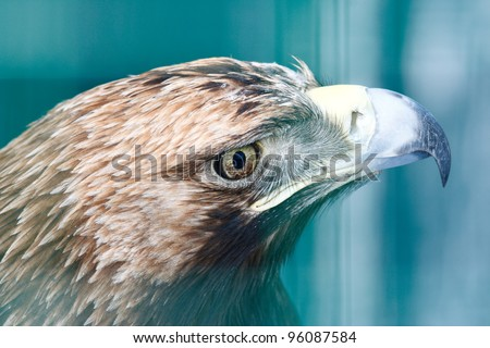 Golden Eagle (Aquila chrysaetos) portrait