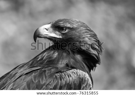 Golden eagle black and white