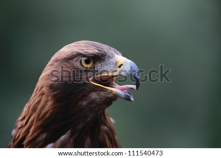 Golden Eagle Calling (Aquila chrysaetos)