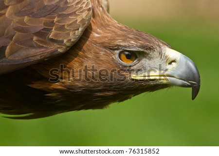 golden eagle head. stock photo : golden eagle detail head