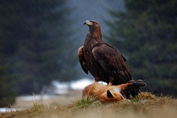 Golden Eagle, feeding on killed Red Fox in the forest during rain. Bird behaviour in the nature. Feeding scene with big bird of prey.