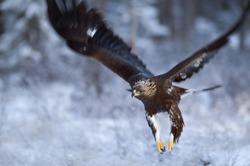 Golden eagle flying, closeup
