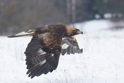 golden eagle flying over the winter meadow