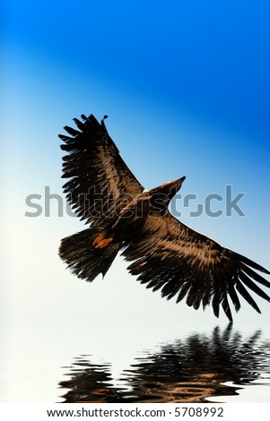 golden eagle flying. stock photo : Golden eagle