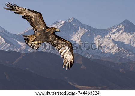 Golden eagle flying with Tien Shan mountains in the background near Bishkek, Kyrgyzstan. Stock photo ©