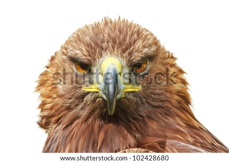 golden eagle front, isolated