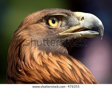 Golden Eagle Gaze - stock photo