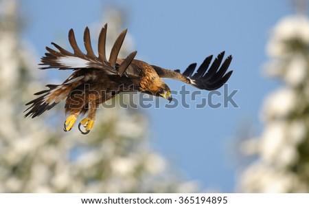 Golden Eagle in flight Stock photo ©
