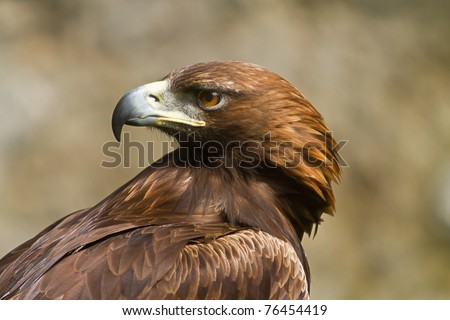 golden eagle in profile