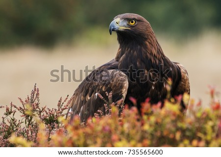 Golden eagle looking around. A majestic golden eagle takes in its surroundings from its spot amongst moorland vegetation. #735565600