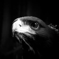Golden eagle looking forward black and white