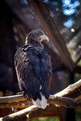 Golden Eagle on blured background