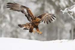 Golden Eagle on landing
